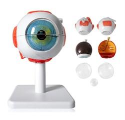Анатомическая модель глаза (малая) - фото 5342