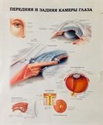 """Плакат """"Передняя и задняя камеры глаза"""""""